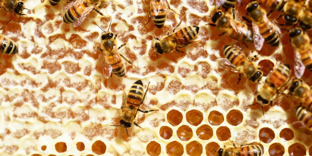 Honey in WA bee honeycomb bee nest