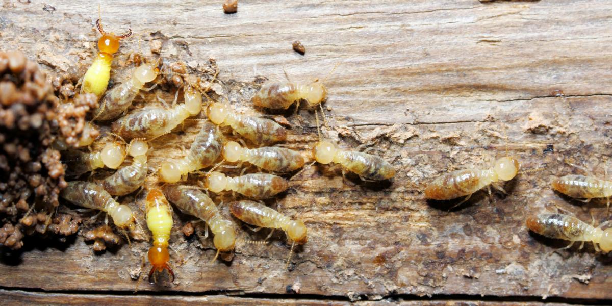 termite inspections perth